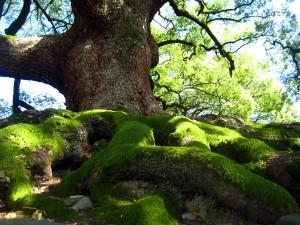tree from Shoren-in temple in Kyoto